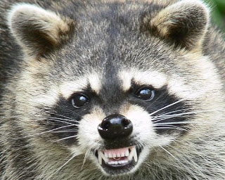 Angry Racoon